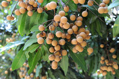 Longan on the tree Stock Photo