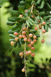 Longan on the tree Stock Photography