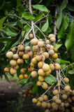 Longan on tree Royalty Free Stock Photography