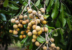 Longan on tree Royalty Free Stock Photos
