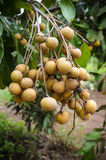 Longan on tree Stock Photos
