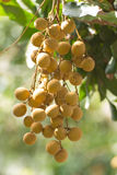 Longan on tree Royalty Free Stock Photo