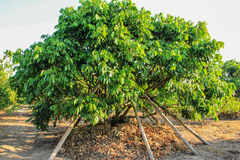 Longan tree. Green longan tree with bambo crutch around Stock Photography