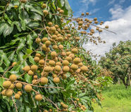 Longan on the  tree. Longan on the green tree with blue sky Royalty Free Stock Photo