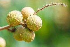 Longan tree. Longan orchards is tropical fruits in Chiangmai province of Thailand Stock Photo