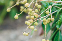 Longan tree Royalty Free Stock Photography