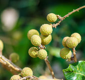 Longan tree. Longan orchards is tropical fruits in Chiangmai province of Thailand Royalty Free Stock Photography