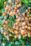 Longan tree Stock Image