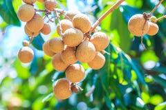 Longan tree Royalty Free Stock Photography