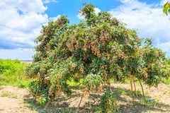 Longan tree Royalty Free Stock Image