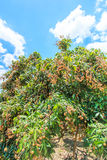 Longan tree Royalty Free Stock Photo