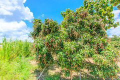 Longan tree Stock Images