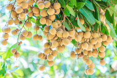 Longan tree Royalty Free Stock Photos