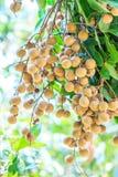 Longan tree Royalty Free Stock Image