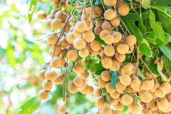 Longan tree Stock Photography