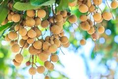 Longan tree Stock Images