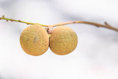 Longan tree Royalty Free Stock Images
