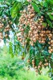 Longan tree Stock Photos