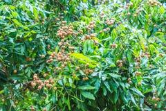 Longan tree Stock Photo