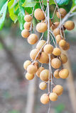 Longan tree Royalty Free Stock Images