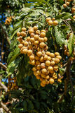 Longan on the tree Stock Images