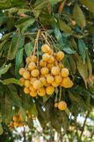 Longan on the tree Royalty Free Stock Image