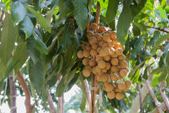 Longan on the tree Royalty Free Stock Images