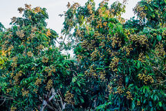 Longan trees Stock Images
