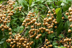 Free Longan, Tropical Fruit On The Tree Stock Photos - 20654083