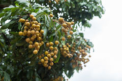 Longan tropical fruit on tree Royalty Free Stock Photo