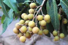 The longan, is a tropical tree that produces edible fruit in Thailand Royalty Free Stock Photos