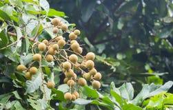 Longan Wetenschappelijke naam: Dimocarpus Royalty-vrije Stock Fotografie