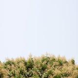 Longanblommabakgrund Royaltyfri Fotografi