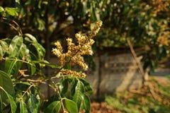 Longanen blommar ` som blommar, produktionfältet, Thailand Royaltyfri Foto