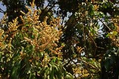 Longanen blommar ` som blommar, produktionfältet, Thailand Royaltyfria Bilder