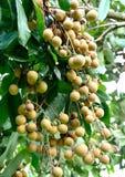 Longanfrukt av Thailand Arkivbild
