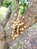 Longanfruktträdgårdar arkivbild
