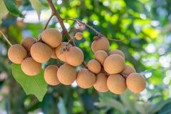 Longanfruktträdgårdar - ung longan för tropiska frukter i Thailand arkivbilder