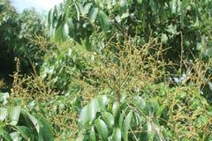 Longanfruktträdgårdar - ung longan för tropiska frukter i Thailand arkivbild