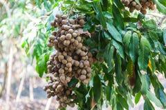 Longanobstgärten - tropische Früchte Longan Stockbilder