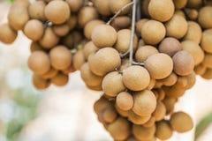 Longanobstgärten - tropische Früchte Longan Stockfoto