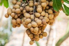 Longanobstgärten - tropische Früchte Longan Lizenzfreie Stockbilder