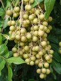 Longans. Fruit on the tree  (Longans Royalty Free Stock Photos