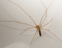Longbodied Cellar Spider Stock Images
