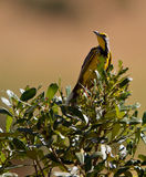 longclaw male throated yellow Royaltyfria Bilder