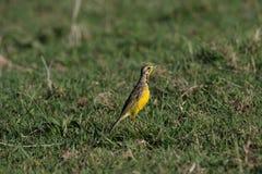 Longclaw throated giallo Fotografia Stock Libera da Diritti
