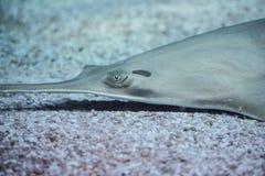 Longcomb sawfish royaltyfria foton