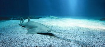 Longcomb sawfish στοκ φωτογραφία με δικαίωμα ελεύθερης χρήσης
