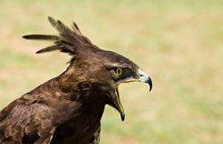 Longcrested Adlerprofil Stockbild