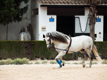 Longeing gray Andalusian Horse Royalty Free Stock Images
